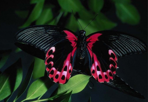 mustiko-petaloudas-mparakli