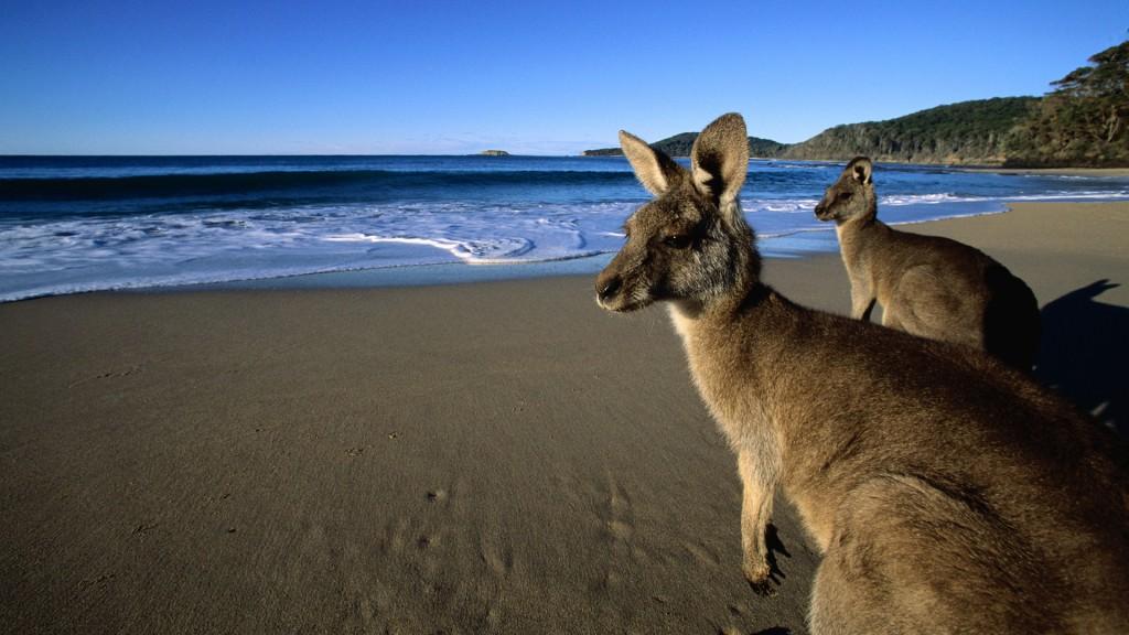 ca. 1990-2000, Australia --- Eastern Grey Kangaroos on the Beach --- Image by © Martin Harvey/Corbis