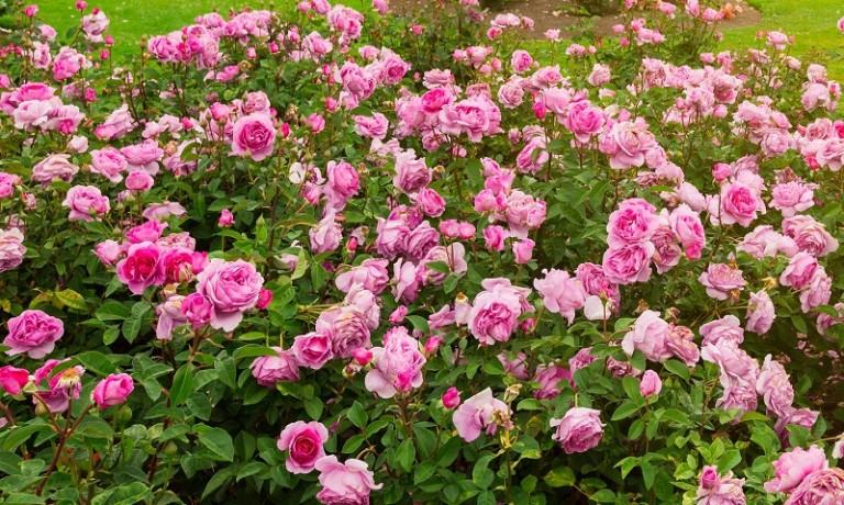 51007641 - beautiful rose garden